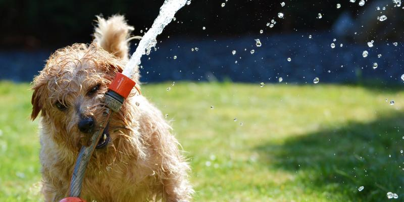 A scrappy dog playing with a water hose in a backyard.